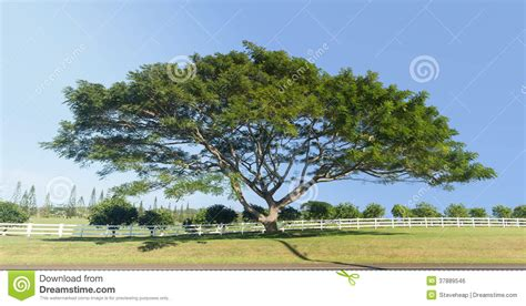 large acacia or koa tree kauai stock photo image 37889546
