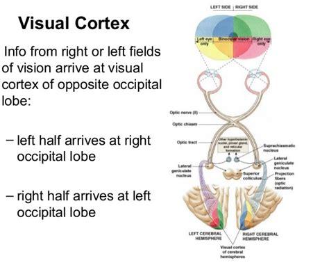 visual cortex diagram brain functions and brain areas mybraintest