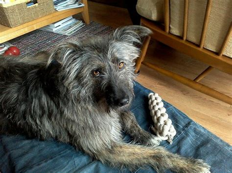 wolfhound puppies for adoption how can i adopt an wolfhound for free breeds picture