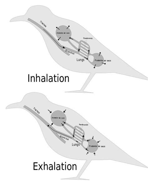 gas exchange across respiratory surfaces boundless biology systems of gas exchange boundless biology