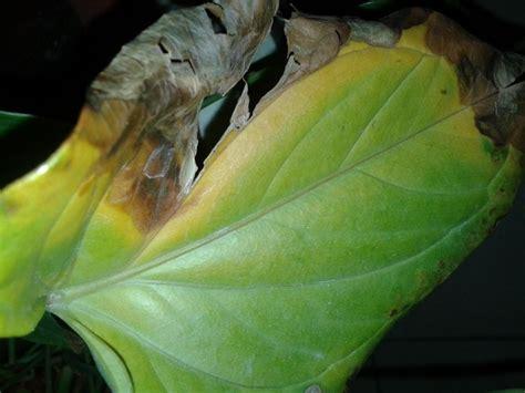 malattie piante appartamento anthurium malattie piante appartamento anthurium