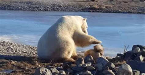 polar petting sad news from sanctuary where viral of polar petting was filmed