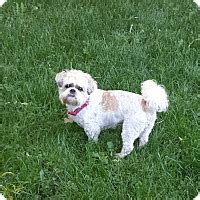 shih tzu rescue of central wi schofield wi shih tzu mix meet gismo a for adoption