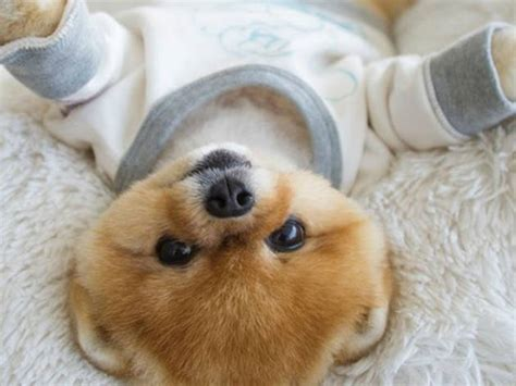 what of is jiffpom what of breed is jiffpom pets wallpapers