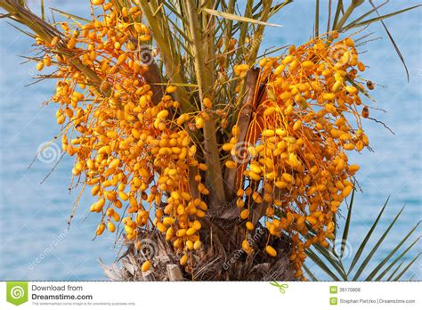 palm tree orange fruit date palm tree with unripe colorful fruit clusters royalty