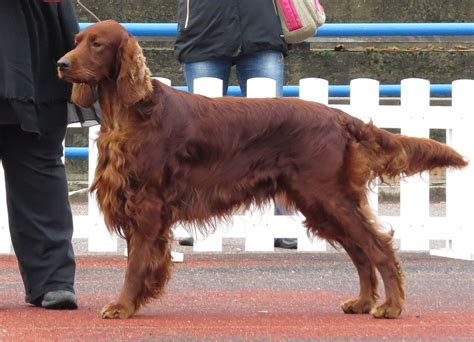 red setter working dog setter irlandais rouge wikip 233 dia