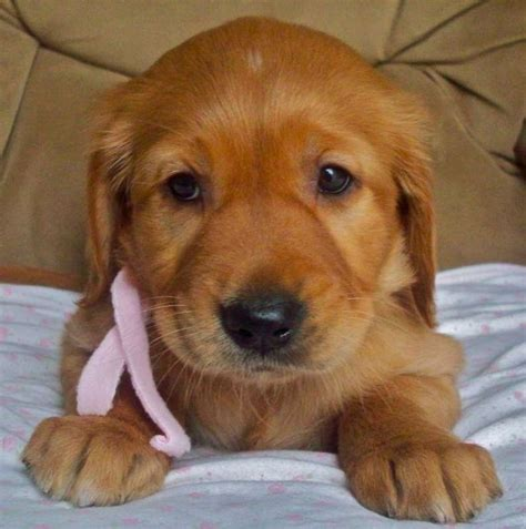 golden retriever puppies for sale in maine golden retriever puppies for sale dallas tx dogs in our photo