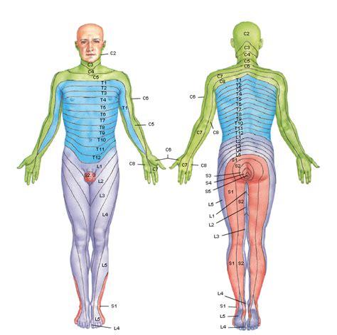 cadenas musculares de miembro superior pdf anatom 237 a 2012 ayudante pablo prado dermatomas