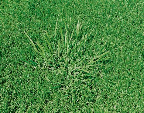 killing fescue grass images frompo 1
