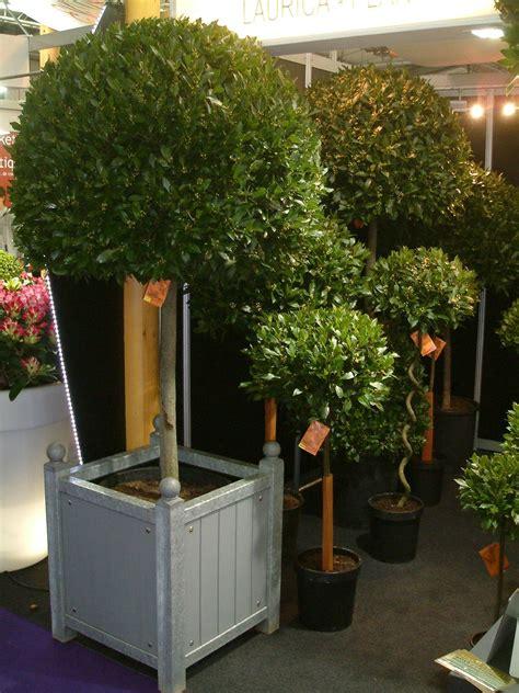 pianta di alloro in vaso pianta di alloro piante da giardino caratteristiche