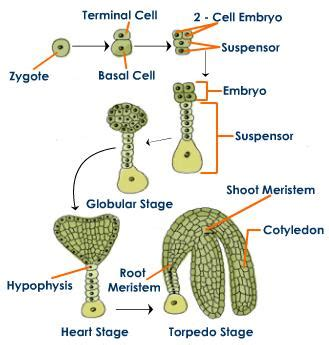 embryogenesis pattern formation from a single cell plant embryogenesis biology tutorvista com