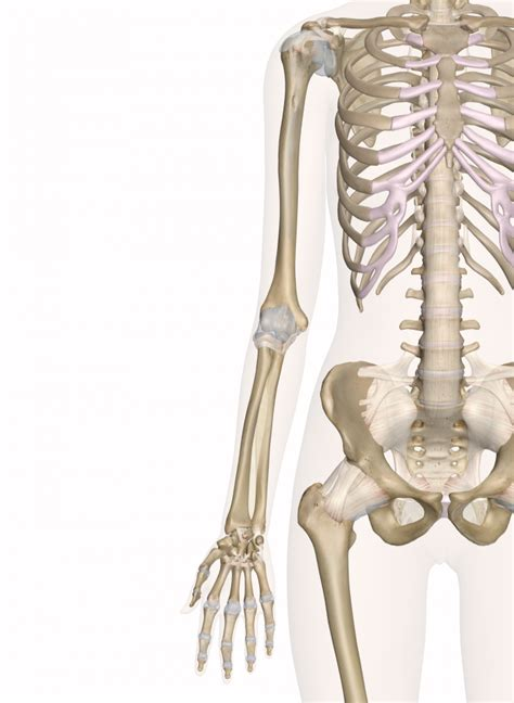 bone treats arm bone applecool info