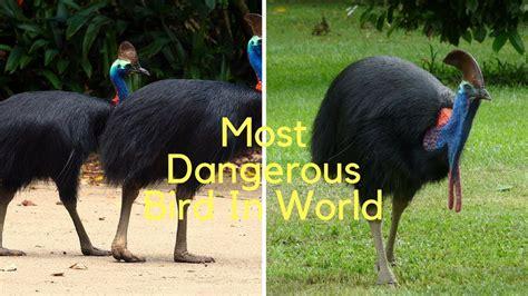 cassowary facts the world�s most dangerous bird https