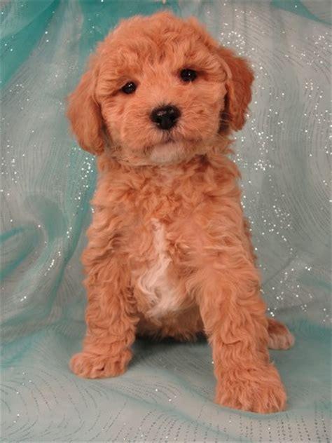 bichon poodle puppies for sale apricot bichon poodle breeder with puppies for sale in iowa dogs