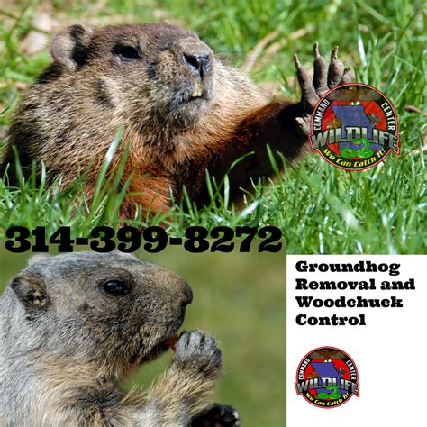 how to get rid of a groundhog in my backyard groundhog problem in st louis wildlife command center mo