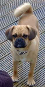 Question and answer pugalier photos pugalier breeders pugalier puppies