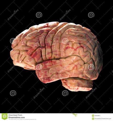 imagenes libres cerebro cerebro de la anatom 237 a vista lateral fotograf 237 a de