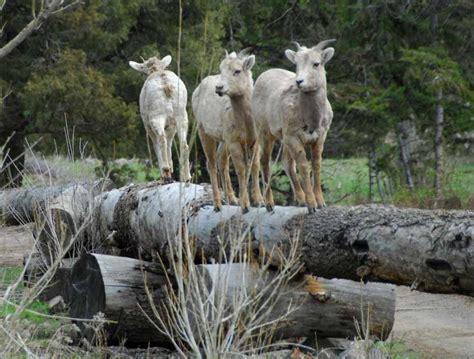 Yellowstone Wildlife Cabins by Yellowstone Wildlife Photos Elephant Lodge