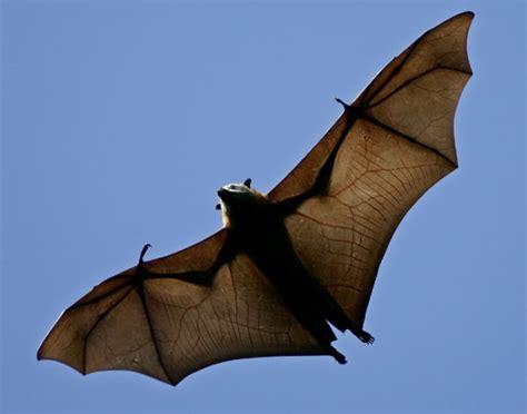 bat in bedroom rabies shots not mandatory for bat in bedroom meetings ctv news