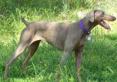 fawn doberman puppy doberman pinscher breed information and pictures