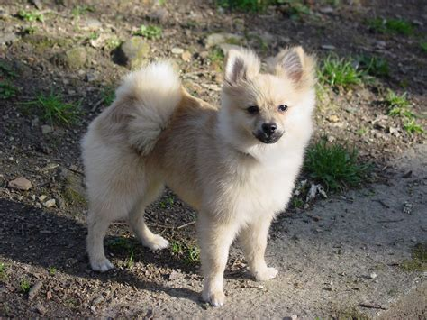 where are pomeranian dogs from all list of different dogs breeds pomeranian small breeds