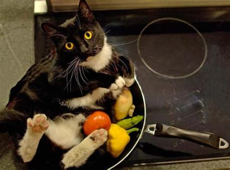 cat dinner is it for dinner cat pictures