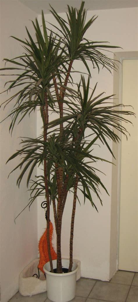 zimmerpflanzen schön dekorieren palmenarten mit bildern zimmer palmenarten mit bildern