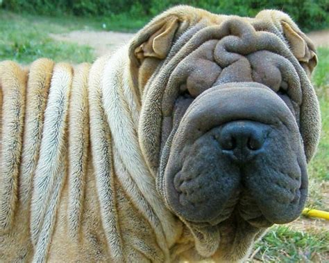 shar pei puppies for sale nc shar pei breeders in carolina freedoglistings breeds picture