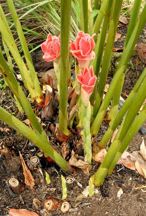 Cultiver Du Gingembre En Pot by Gingembre Planter Et Cultiver Ooreka