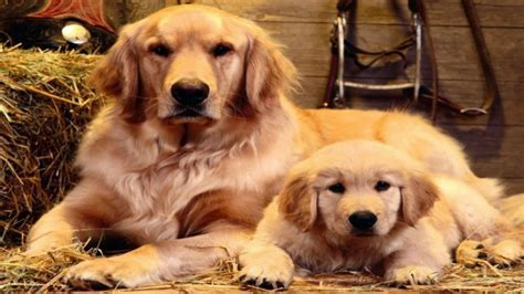 grooming golden retriever grooming your golden retriever
