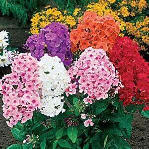 Tall Phlox Flowers - similiar tall phlox keywords