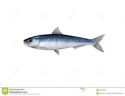 Sarden Mackerel Botan A1 2 sardine stock illustration image 49328338