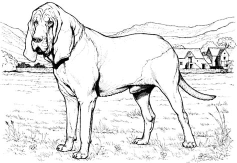coloring pages of bloodhounds bloodhound color page
