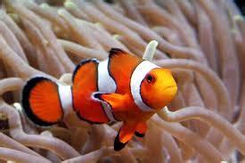 Ikan Hias Laut Letter Six Dori Tiny ikan hias