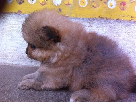 mini pomeranian for sale in hyderabad pomeranian puppies for sale govardhan 1 16191 dogs for sale price of puppies