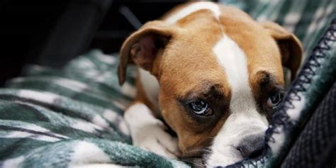 depression in dogs depression in dogs signs causes treatment options and more