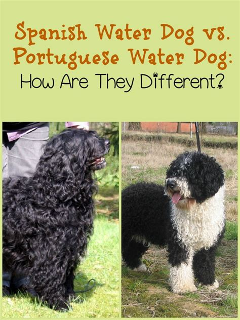 portuguese water dogs water vs portuguese water