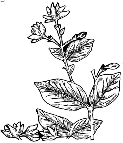 coloring pages of jasmine flower pictures of jasmine flowers coloring pages