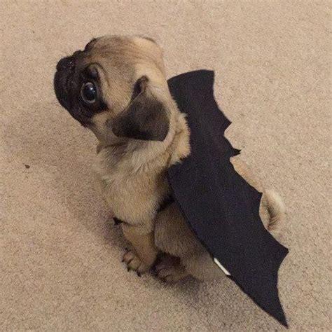 pug in pug costume 1000 ideas about pug costumes on pug pug costume and the pug