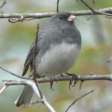 birds unlimited small gray bird with white belly