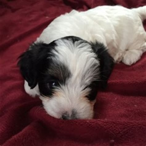 havanese and poodle mix for sale view ad havanese poodle mix puppy for sale oregon portland