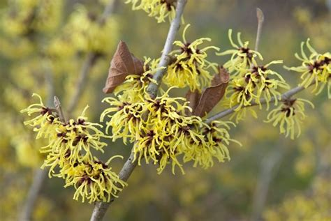 growing witch hazel how to care for witch hazel in the garden garden design