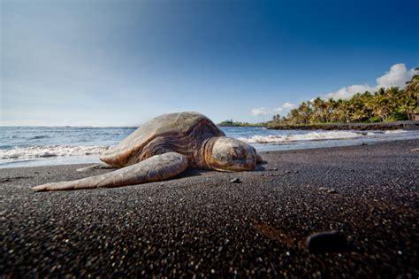 punaluu black sand beach black sand punaluu beach map search results dunia pictures