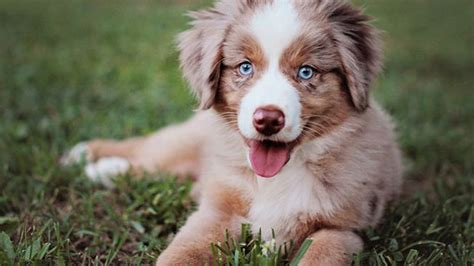cutest breed power ranking the cutest breeds as puppies
