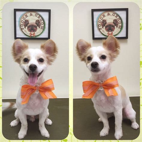 haircut for long hair chihuahua long hair chihuahua haircut styles haircuts models ideas