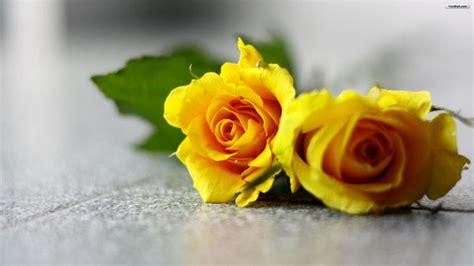 fiore rosa significato significato rosa significato dei fiori conoscere il