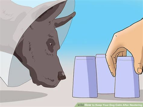 will neutering calm my how to keep your calm after neutering 13 steps