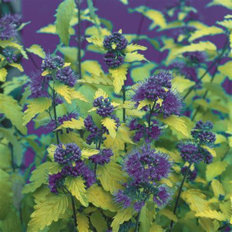 14 flowering shrubs for sun hgtv