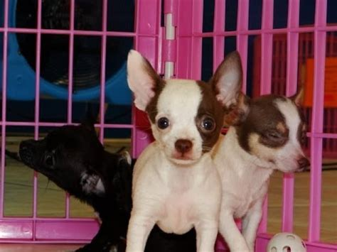craigslist chihuahua puppies for sale chihuahua puppies dogs for sale in arizona az 19breeders gilbert