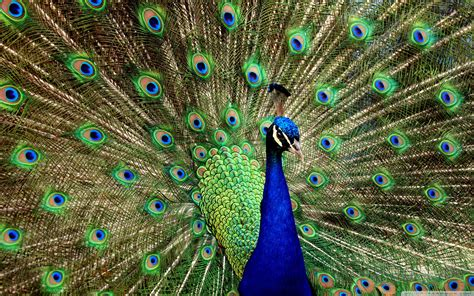 peacock wallpapers 50 best beautiful peacock hd images photos and wallpaper